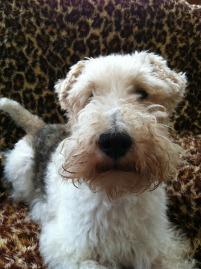 dog fox-terrier ziggy. ultimatelife. free pixabay