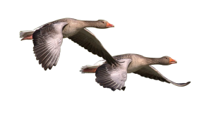 geese-flying-free-action-planet-pixabay